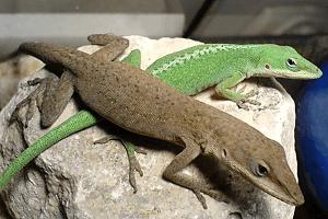 Anolis červenokrký - Anolis carolinensis (americký chameleón)