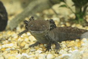 Axolotl mexický - Ambystoma mexicanum (obojživelník)