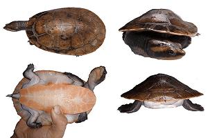 Dlhokrčka červenobruchá - Emydura subglobosa (vodná korytnačka)