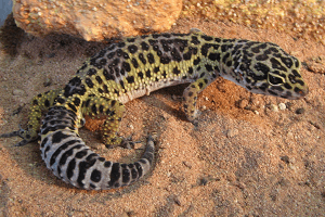 Gekončík nočný - Eublepharis macularius (krotký druh)