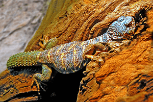 Pichľavec ozdobný - Uromastyx ornata (krásna jašterica)