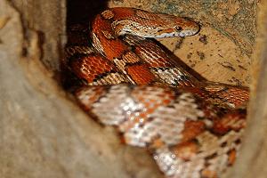 Užovka červená - Pantherophis guttatus (najobľúbenejší had)