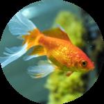 Najkrajšie okrasné ryby do jazierka
