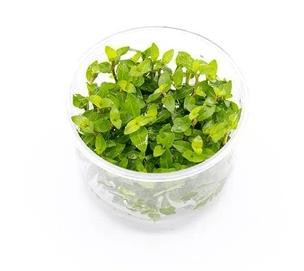 Rastliny In Vitro vs. košíkové rastliny