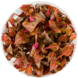 In Vitro - Alternanthera Rosaefolia