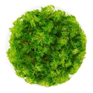 In Vitro - Limnophila Vietnam Mini