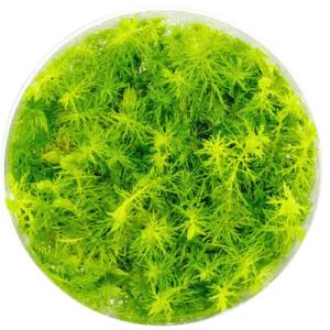 In Vitro - Myriophyllum Aquaticum